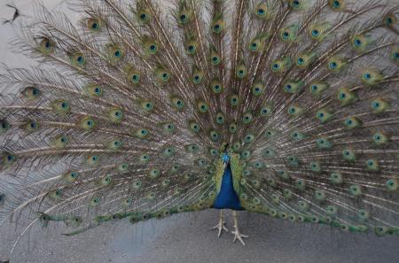 Peacock Usher