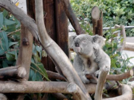 Squinting Koala